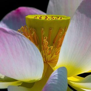 Heart of Lotus blossom