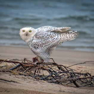 Snowy Owl - Assateague Island