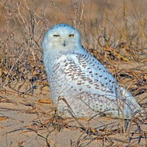 Snowy Owl - Assateague