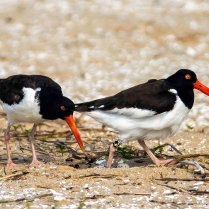 Oyster catchers - changing positons