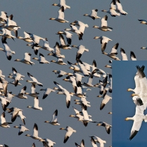 Snowgeese - a Winter delight