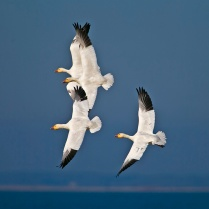 Snow-geese airshow
